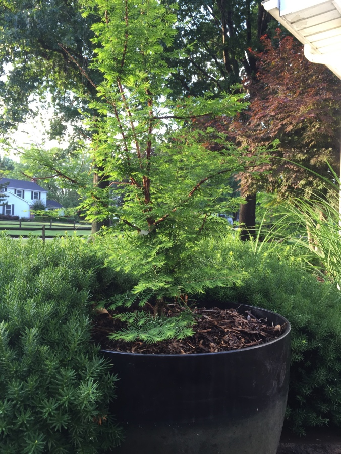 Arkady has been obsessed with dawn redwoods since he discovered they can grow in Ohio. So we have two in the Zen garden. And three in the backyard. And one growing in a pot in the kitchen.