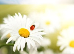 spring-daisy